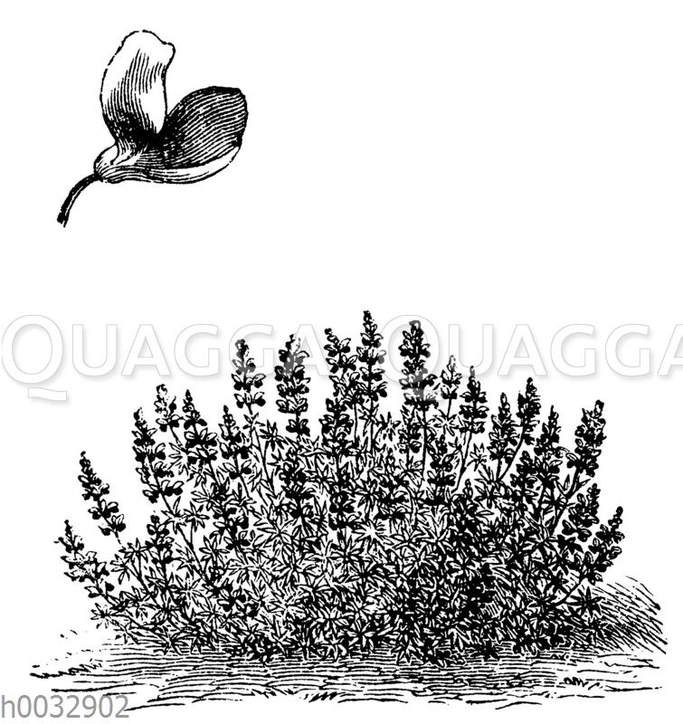 Zwerg-Lupine