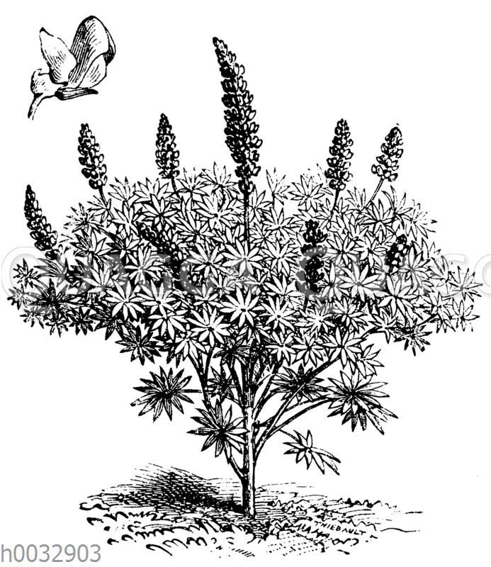 L.upinus sulphureus