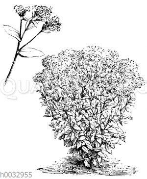 Stevia purpurea