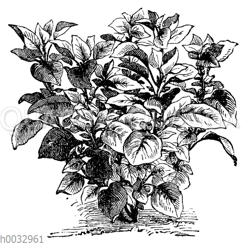 Amarantus melancholicus ruber