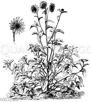 Helianthus argyrophyllus
