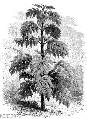 Montagnea heracleifolia