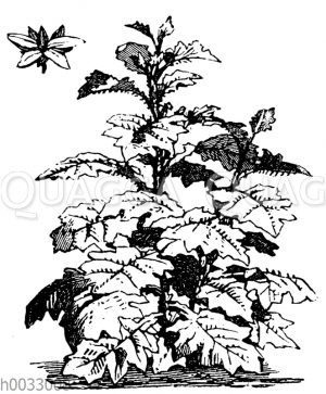 Solanum robustum