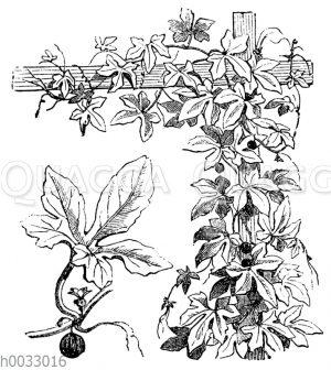 Bryonopsis erythrocarpa