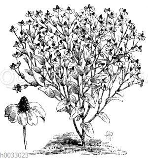 Rudbeckia amplexicaulis flore pleno