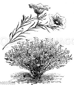 Nierembergia gracilis