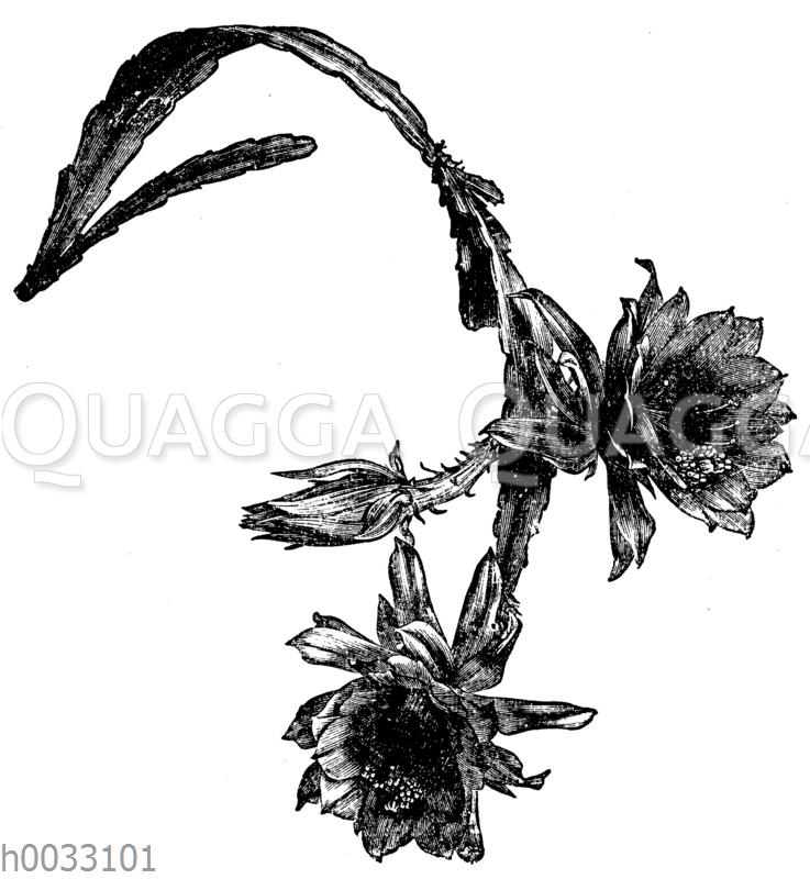 Cereus Ackermanni