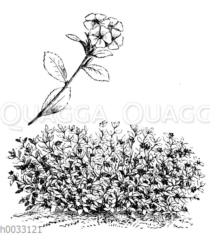 Ceratostigma plumbaginoides Syn. Plumbago larpentae