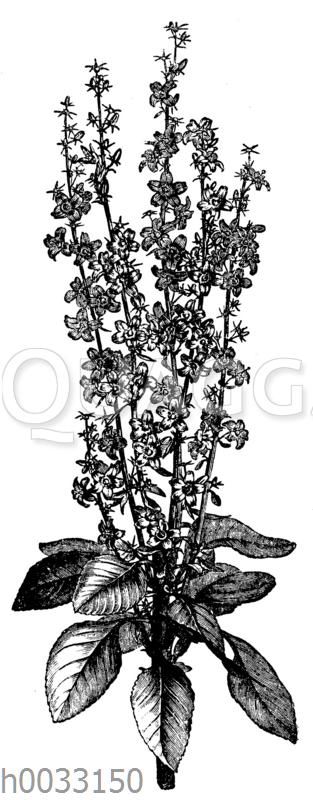 Campanula pyramidalis