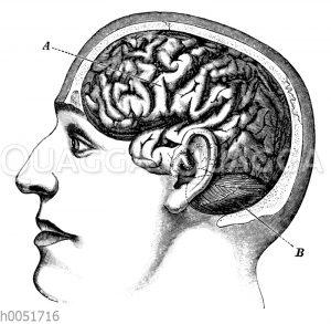 Lage des Gehirns im Kopf des Menschen