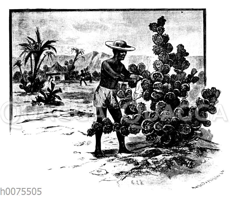 Sammeln der Cochenilleschildlaus