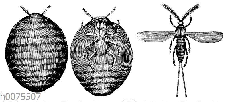 Cochenillelaus. Weibchen und Männchen
