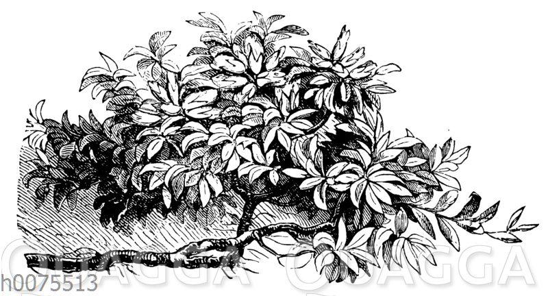 Heidelbeerweide