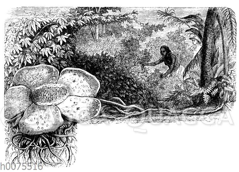 Rafflesia im Dschungel von Sumatra