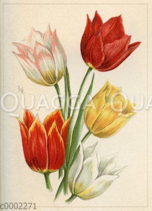 Tulpen: Duc van Tholl.