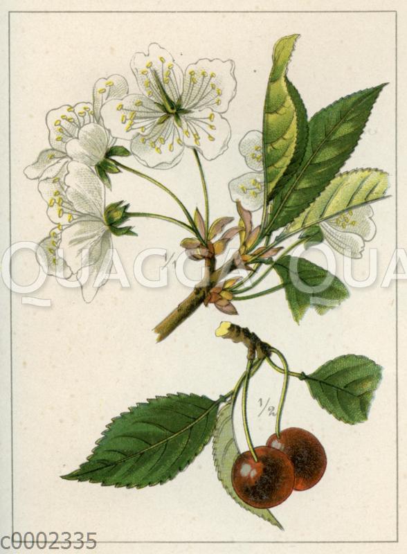 Süßkirschenbaum