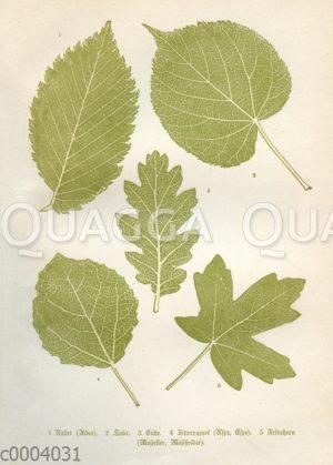 Blätter mitteleuropäischer Bäume: 1 Ulme