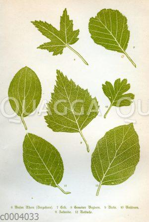 Blätter mitteleuropäischer Bäume: 6 Weißer Ahorn (Bergahorn)