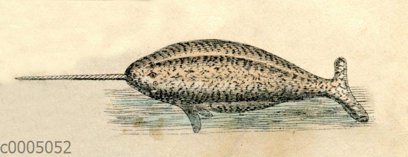 Narwal (Monodon monoceros