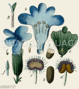 Lavendel: Blütendetails