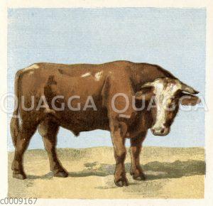 Holsteiner Rind: Bulle