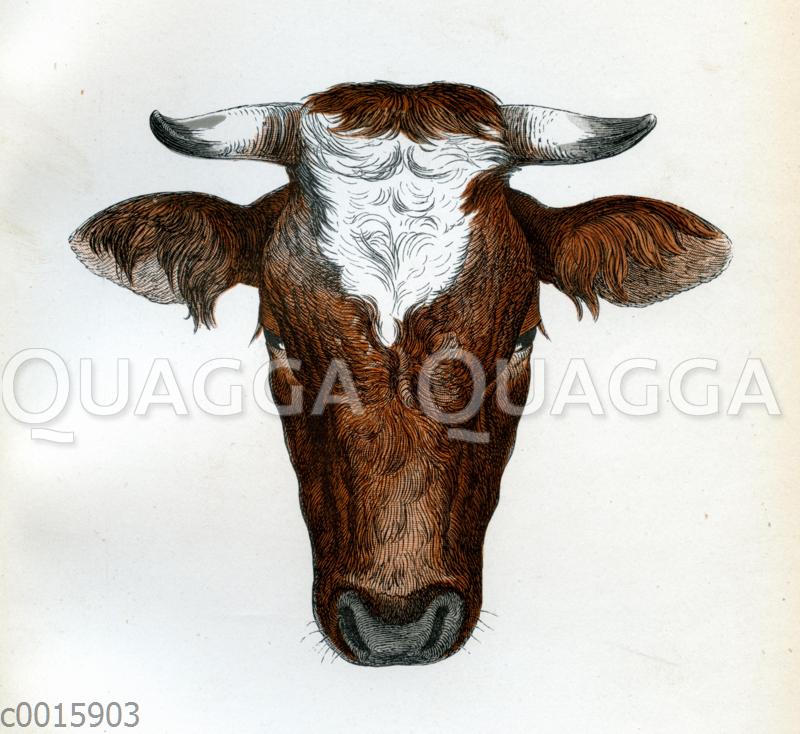 Ostfriesen Stier