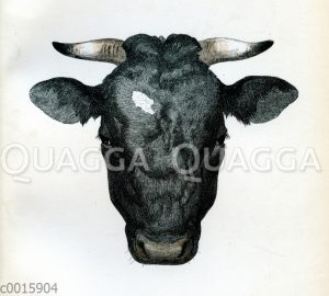 Oldenburger Stier