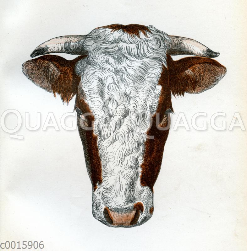 Wilstermarsch Stier (Holstein)