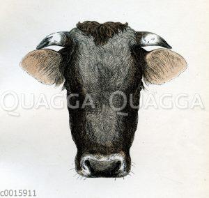 Allgäuer Stier
