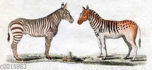 Vierfüßige Tiere: Zebra und Quagga