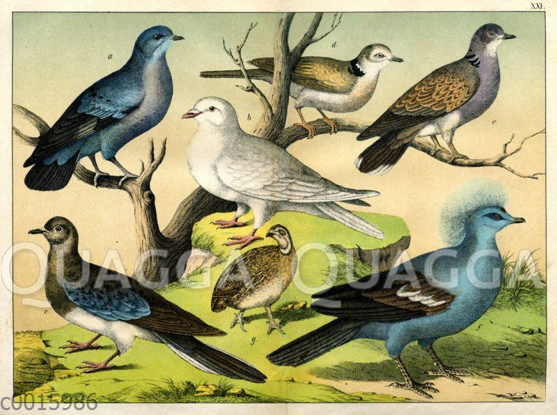 Tauben und Wachtel