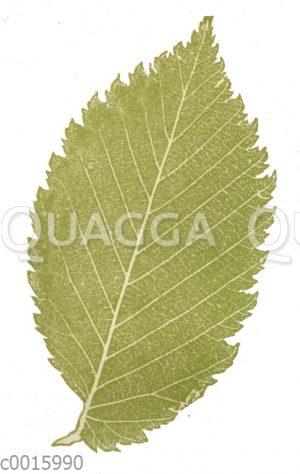 Ulme: Blatt im Naturselbstdruck