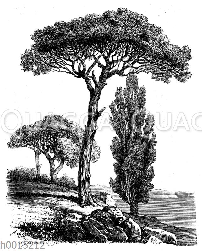 Bäume des Mittelmeergebiets: Pinie (links)