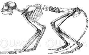 Mesopithecus pentelici: Skelett eines weiblichen Tieres