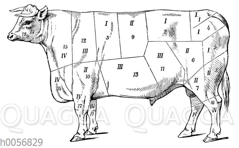 Einteilung der Fleischgüte bei einem Stier
