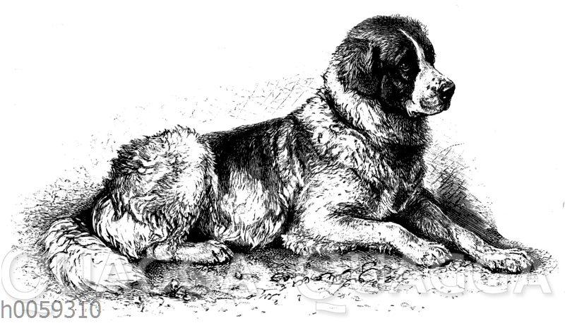 Haushund