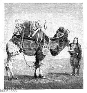 Bepacktes Kamel