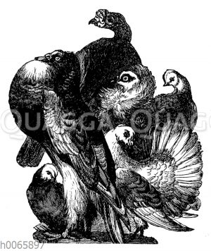 Taubenrassen
