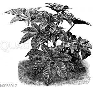 Wunderbaum, Rizinus