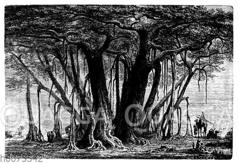 Indischer Feigenbaum