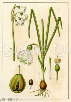Glockenlilie