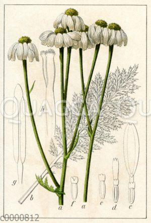 Wald-Kamille_ Straußblütige Wucherblume