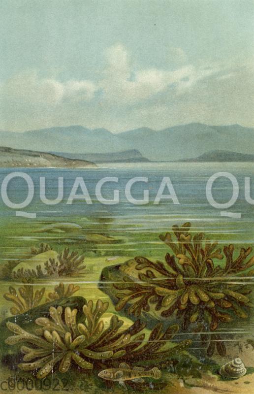 Tange im adriatischen Meer