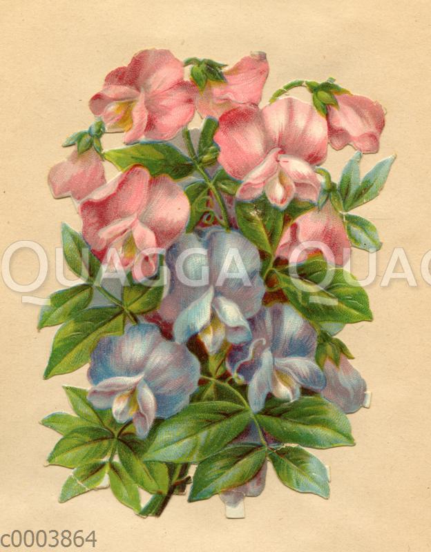 Glanzbildchen: Rosa und hellblaue Wicken