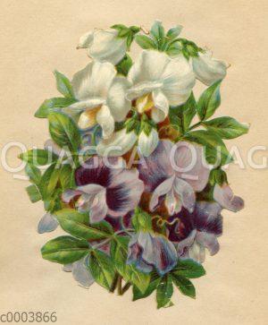Glanzbildchen: Weiße und lila Wicken
