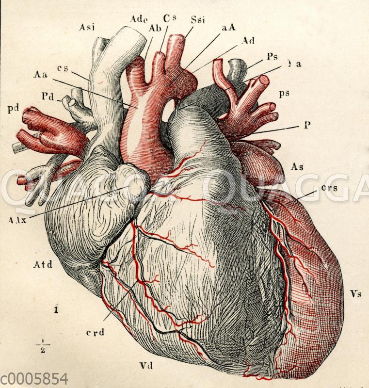 Menschliches Herz