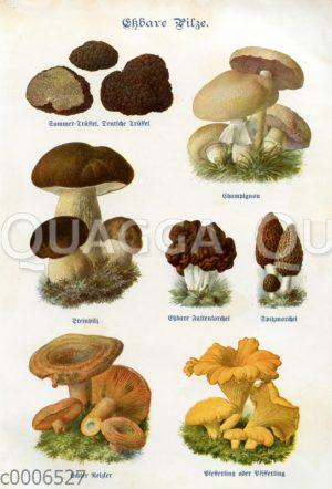 Tafel: Essbare Pilze