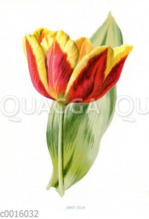 Frühe Tulpe