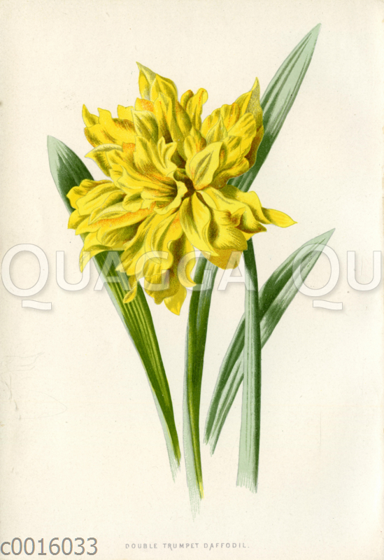 Narzisse: 'Double Trumpet Daffodil'