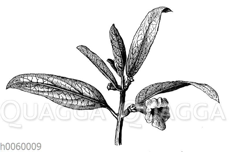Sesampflanze